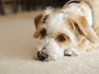 What To Do About Fleas